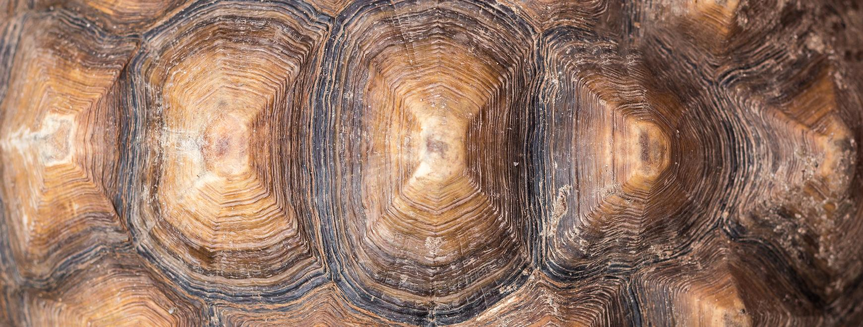 Texture of Turtle carapace.